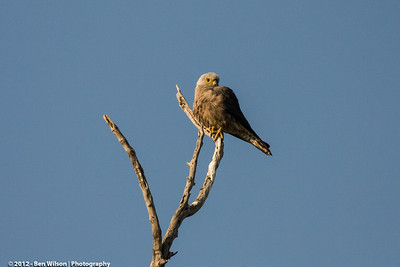 Dickinson's Kestrel (Falco dickinsoni)