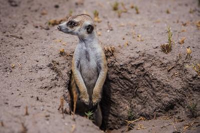 Makgadikgadi Pans, Botswana A cute little meerkat.