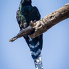 Green (Red-billed) Wood-Hoopoe