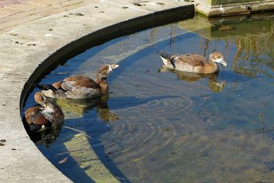 IMG_0693 Ducks in Park, Capetown