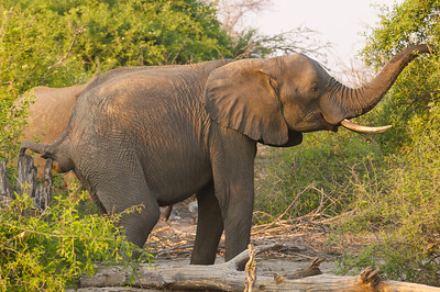Elephant: Food in, poop out