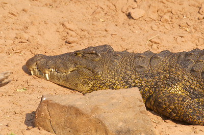 Crocodile sunbathing