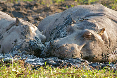 Hippo mud bath