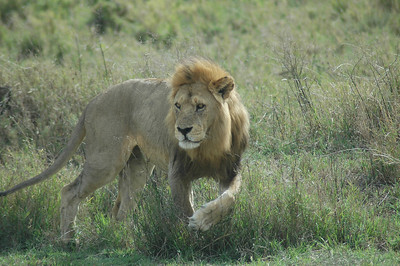 A young male lion glares at us as we pass during one of our game drives.