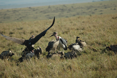 ...leaving the cheetah and the waiting vultures and storks disappointed because there was no kill today.