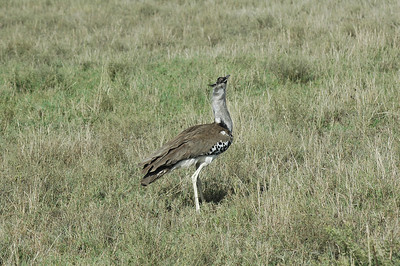 Large bustards are found daily on the Serengeti.