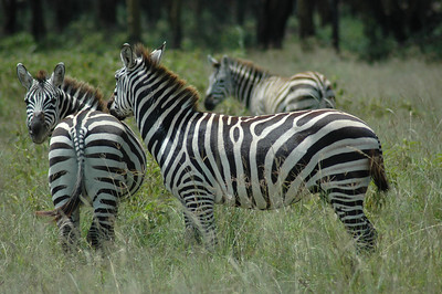 We left Samburu Reserve and headed west to the Rift Valley stopping along the way to watch these zebra.