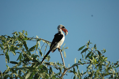 Large, colorful hornbills, like this red-billed hornbill, were also favorites of many in our group.