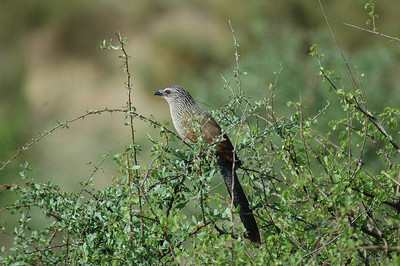 I quickly discover birding in East Africa is much easier than the tropics. Wide open views and landscapes make this coucal (and other birds) easy to spot.