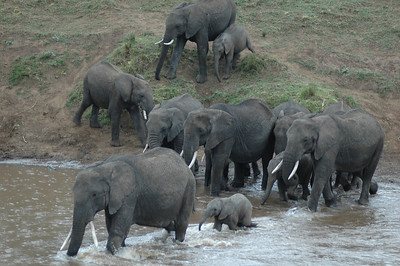 On our last game drive in Kenya, we find a family of elephants along the rivers edge.  As they cross, the matriach helps the young.
