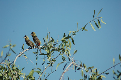A mating pair of barbet's are noisy and colorful.