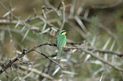 Large or small (here a tiny bee-eater), common or rare, the birding was outstanding on this trip with 412 species seen.