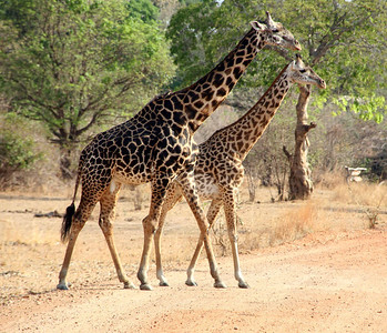 We admired the grace and elegance of both the Maasai and Reticulated giraffes in Kenya.
