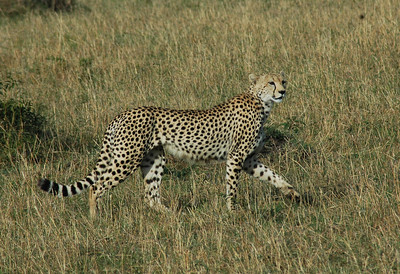 On the second day in the Mara, I spotted a cheetah  stalking an impala. It was a wish come true to watch her run. (This is the super-model of big cats). But as we watched, the impalas, baboons, and birds set up a din and warning calls...