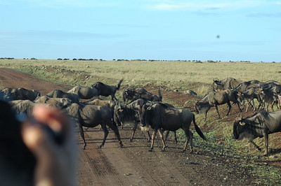 This trip was timed to witness the Great Migration. The Wildebeest are on the move as we drive into the Maasai Mara National Park. Wildebeest are large antelopes that migrate annually in a 300-mile clockwise direction through the Serengeti-Maasai Mara ecosystem. This is the largest mammal migration in the world.