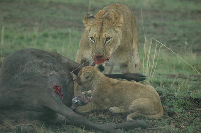 The migration of Wildebeest are followed by the predators. A lioness and her cubs take their fill.