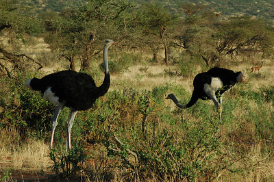 After departing from the Mountain Lodge, we drive northeast to the dry, semi desert Samburu Reserve where ostrich are easy to spot.