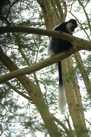 The dense, cool, moist forests on the mountain slopes are home to special species such as the black-and-white colobus monkeys who flew from tree to tree with long dramatic jumps!