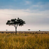 """Mara"", which is Maa (Maasai language) for ""spotted,"" an apt description for the circles of trees, scrub, savanna, and cloud shadows that mark the area. The Wildebees in the background provide more ""spots"""