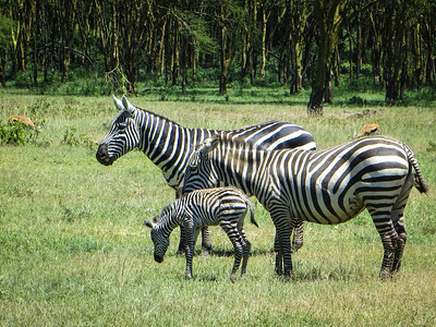 Zebras travel in family groups. Who knew?
