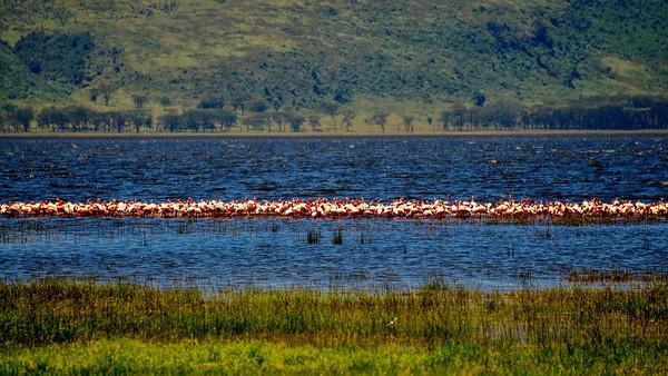 Flamingos, At last - but not many