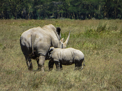 It is good that baby Rhinos do not have horns while they are still suckling.