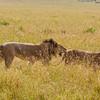 Another Lion honeymoon