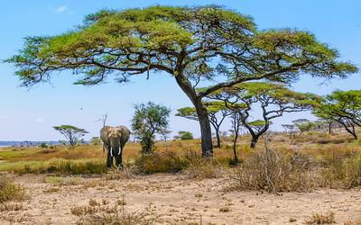 Elephants and Giraffe sculpt the landscape