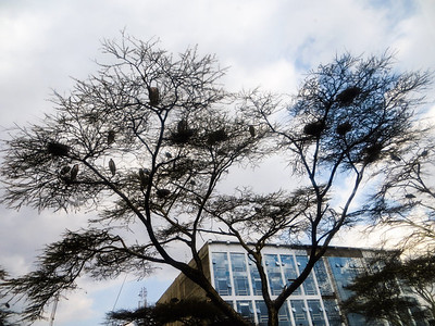 Storks in downtown Nairobi