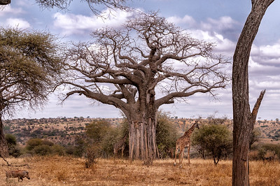 Baobab with giraffe and Warthog