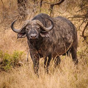 Mean buffalo