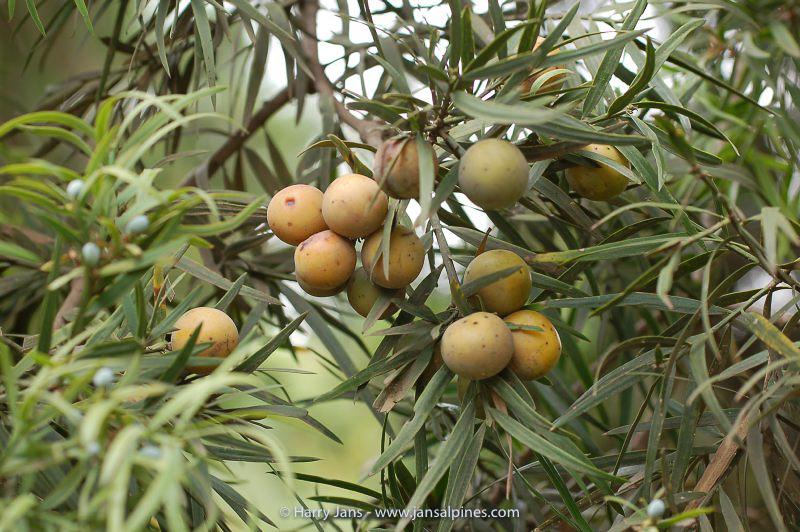Afrocarpus falcatus