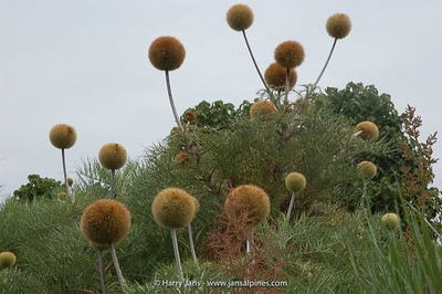 Echinops ellenbeckii, up to 2,5m tall