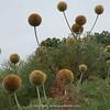 Echinops ellenbeckii, up to 2,5m tall