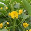 Cassia occidentalis