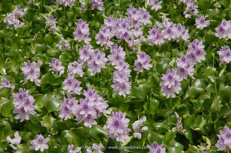 Eichhornia crassipes (water hyacinth)