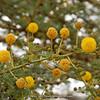 Acacia spec.
