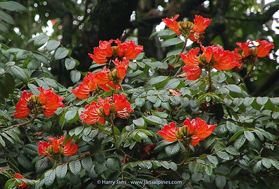 Spathodea campanulata  (African Tulip Tree)