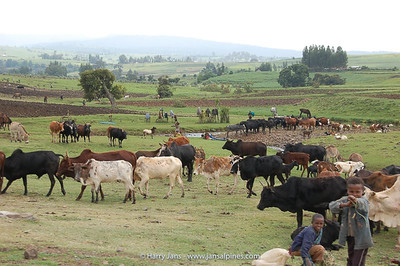 cattle everywhere around Dodola