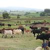 cattle everywhere around Dodola
