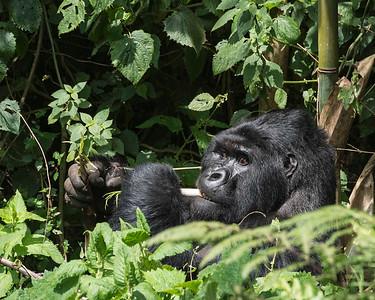 Gorillas- 2014
