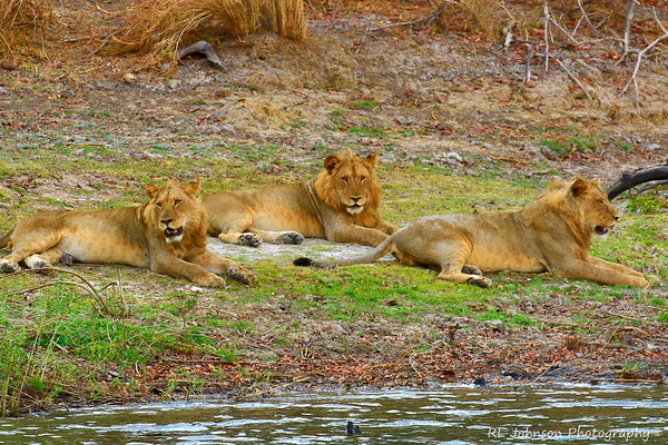 Well Fed Lion Brothers