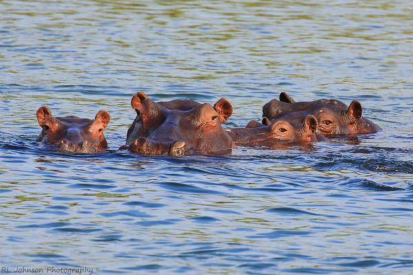 Hippopotamus Quartet