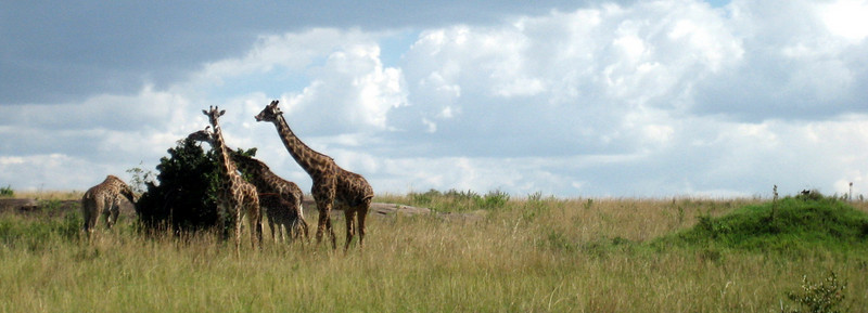 A family of giraffes eating the leaves of an Acacia tree. Acacias are covered in long thorns and don't look that tasty.