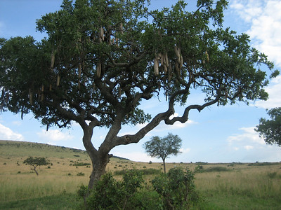 Sausage tree (named after the sausage-shaped seed pods hanging off their branches). In other parts of Africa the trunks of these trees are used to make dug-out canoes.