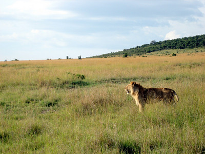Young male lion. The third of our big 5 sightings.