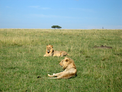 Our second morning we sighted a group of young bachelor lions relaxing in the sun.