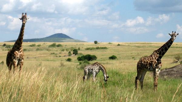 Giraffes...Steph's favourite.