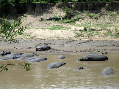 More hippos (really! they aren't just boulders)