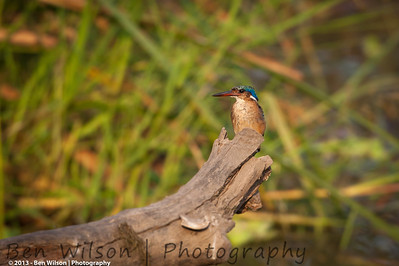 immature Malachite Kingfisher